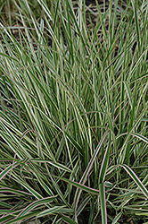 Variegated Reed Grass (Calamagrostis x acutiflora 'Overdam') at Arrowhead Nurseries Ltd.