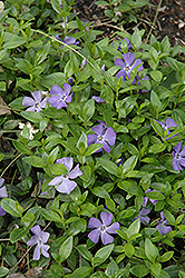 Common Periwinkle (Vinca minor) at Arrowhead Nurseries Ltd.