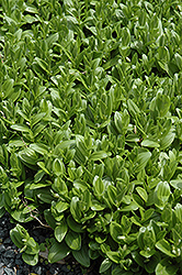 Solomon's Seal (Polygonatum humile) at Arrowhead Nurseries Ltd.