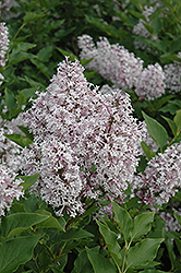 Miss Kim Lilac (Syringa patula 'Miss Kim') at Arrowhead Nurseries Ltd.