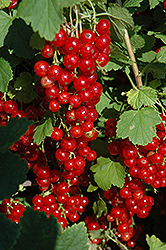 Red Lake Red Currant (Ribes sativum 'Red Lake') at Arrowhead Nurseries Ltd.