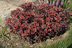 Purple Emperor Stonecrop (Sedum 'Purple Emperor') at Arrowhead Nurseries Ltd.