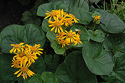 Desdemona Rayflower (Ligularia dentata 'Desdemona') at Arrowhead Nurseries Ltd.
