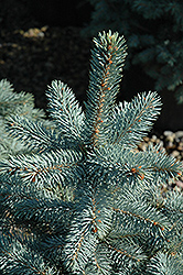 Baby Blue Eyes Spruce (Picea pungens 'Baby Blue Eyes') at Arrowhead Nurseries Ltd.