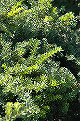 Emerald Spreader Yew (Taxus cuspidata 'Emerald Spreader') at Arrowhead Nurseries Ltd.