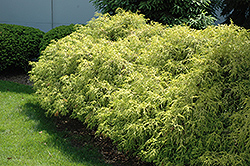 Dwarf Golden Sawara Falsecypress (Chamaecyparis pisifera 'Aurea Nana') at Arrowhead Nurseries Ltd.
