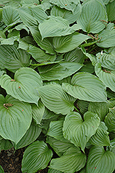 Blue Plantain Lily (Hosta ventricosa) at Arrowhead Nurseries Ltd.