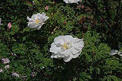 Henry Hudson Rose (Rosa 'Henry Hudson') at Arrowhead Nurseries Ltd.