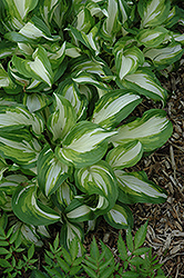 Variegated Hosta (Hosta undulata 'Variegata') at Arrowhead Nurseries Ltd.