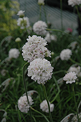 White Sea Thrift (Armeria maritima 'Alba') at Arrowhead Nurseries Ltd.