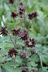 Black Barlow Columbine (Aquilegia vulgaris 'Black Barlow') at Arrowhead Nurseries Ltd.