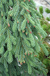 Weeping White Spruce (Picea glauca 'Pendula') at Arrowhead Nurseries Ltd.