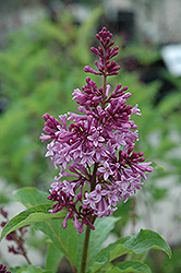 Royalty Lilac (Syringa x prestoniae 'Royalty') at Arrowhead Nurseries Ltd.