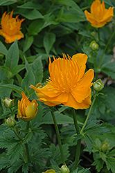Golden Queen Globeflower (Trollius chinensis 'Golden Queen') at Arrowhead Nurseries Ltd.