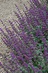 Purple Rain Salvia (Salvia verticillata 'Purple Rain') at Arrowhead Nurseries Ltd.