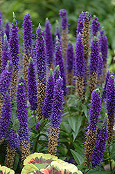 Royal Candles Speedwell (Veronica spicata 'Royal Candles') at Arrowhead Nurseries Ltd.