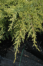 Gold Star Juniper (Juniperus chinensis 'Bakaurea') at Arrowhead Nurseries Ltd.