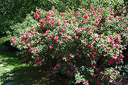 John Cabot Rose (Rosa 'John Cabot') at Arrowhead Nurseries Ltd.