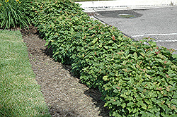 Dwarf European Cranberry (Viburnum opulus 'Nanum') at Arrowhead Nurseries Ltd.