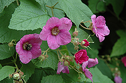 Flowering Raspberry (Rubus odoratus) at Arrowhead Nurseries Ltd.