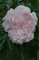 La France Peony (Paeonia 'La France') at Arrowhead Nurseries Ltd.