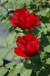 Emily Carr Rose (Rosa 'Emily Carr') at Arrowhead Nurseries Ltd.