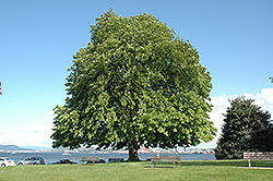 Horse Chestnut (Aesculus hippocastanum) at Arrowhead Nurseries Ltd.