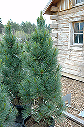 Algonquin Pillar Swiss Stone Pine (Pinus cembra 'Algonquin Pillar') at Arrowhead Nurseries Ltd.