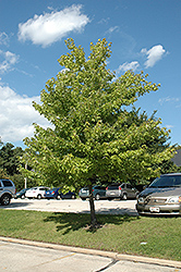 Morgan Maple (Acer rubrum 'Morgan') at Arrowhead Nurseries Ltd.