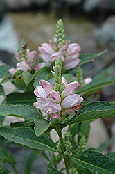 Turtlehead (Chelone glabra) at Arrowhead Nurseries Ltd.