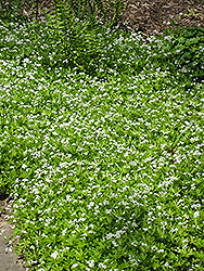 Sweet Woodruff (Galium odoratum) at Arrowhead Nurseries Ltd.