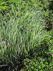 Variegated Oat Grass (Arrhenatherum elatum 'Variegatum') at Arrowhead Nurseries Ltd.