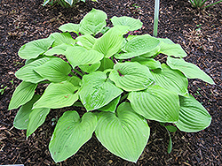 August Moon Hosta (Hosta 'August Moon') at Arrowhead Nurseries Ltd.