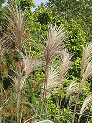 Variegated Silver Grass (Miscanthus sinensis 'Variegatus') at Arrowhead Nurseries Ltd.
