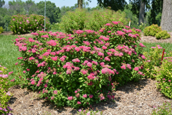 Double Play® Red Spirea (Spiraea japonica 'SMNSJMFR') at Arrowhead Nurseries Ltd.