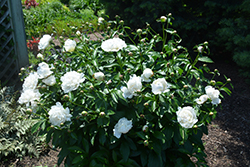 Festiva Maxima Peony (Paeonia 'Festiva Maxima') at Arrowhead Nurseries Ltd.
