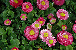 Speedstar Pink English Daisy (Bellis perennis 'Speedstar Pink') at Arrowhead Nurseries Ltd.