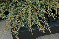Green Carpet Juniper (Juniperus communis 'Green Carpet') at Arrowhead Nurseries Ltd.