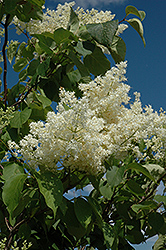 Ivory Silk Tree Lilac (tree form) (Syringa reticulata 'Ivory Silk (tree form)') at Arrowhead Nurseries Ltd.