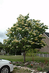 Japanese Tree Lilac (Syringa reticulata) at Arrowhead Nurseries Ltd.