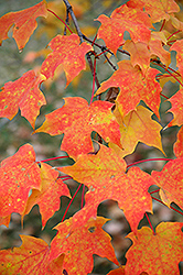 Sugar Maple (Acer saccharum) at Arrowhead Nurseries Ltd.