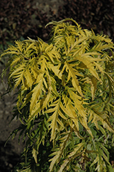 Morden Golden Glow Elder (Sambucus racemosa 'Morden Golden Glow') at Arrowhead Nurseries Ltd.