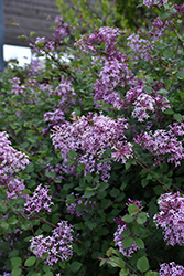 Bloomerang® Lilac (Syringa 'Bloomerang') at Arrowhead Nurseries Ltd.