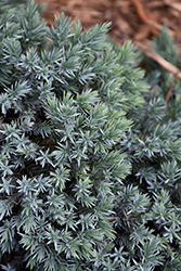 Blue Star Juniper (Juniperus squamata 'Blue Star') at Arrowhead Nurseries Ltd.