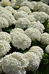 Incrediball® Hydrangea (Hydrangea arborescens 'Abetwo') at Arrowhead Nurseries Ltd.