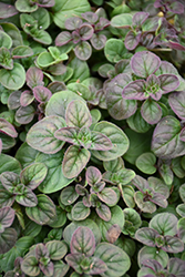 Oregano (Origanum vulgare) at Arrowhead Nurseries Ltd.