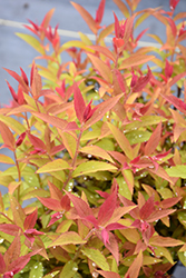 Froebelii Spirea (Spiraea x bumalda 'Froebelii') at Arrowhead Nurseries Ltd.
