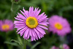 Happy End Alpine Aster (Aster alpinus 'Happy End') at Arrowhead Nurseries Ltd.