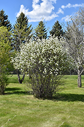 Smokey Saskatoon (Amelanchier alnifolia 'Smokey') at Arrowhead Nurseries Ltd.