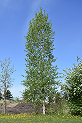Balsam Poplar (Populus balsamifera) at Arrowhead Nurseries Ltd.